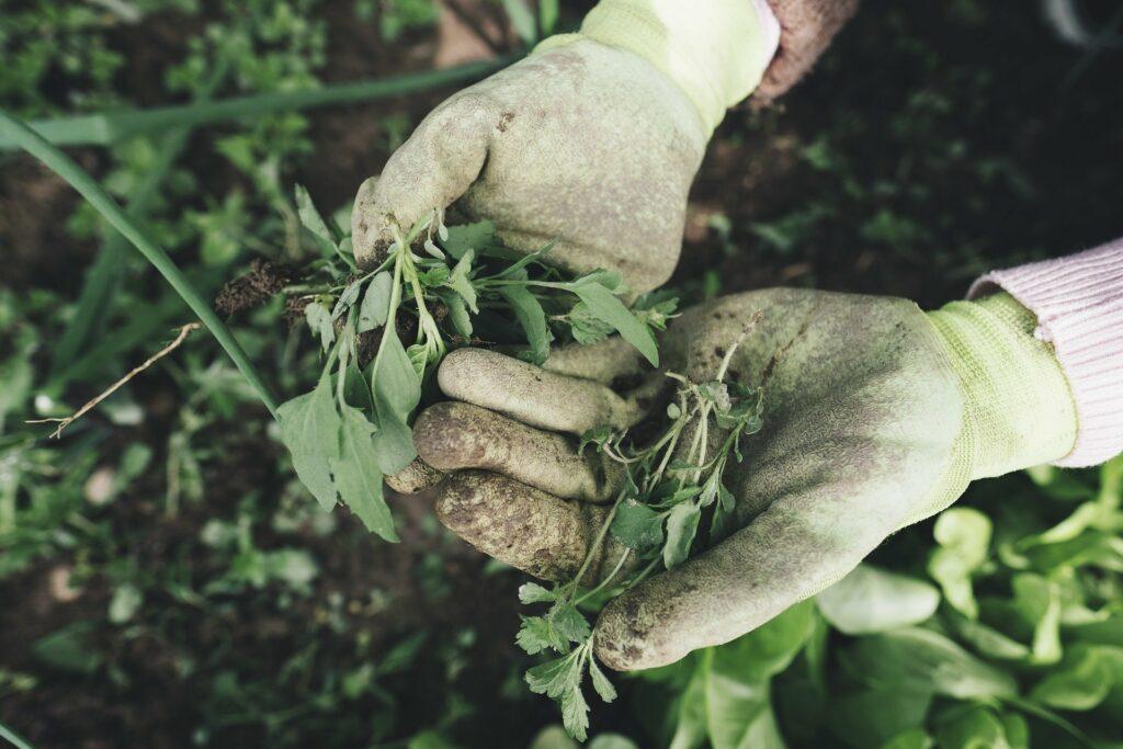 Désherbage, très important de le faire dans votre jardin au début du printemps.